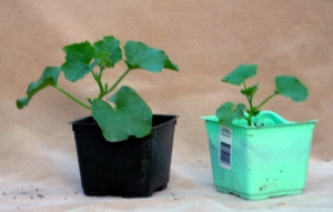 Cucumber plants with and without Rhizoboost.
