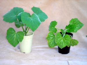 Squash plants grown with and without Rhizoboost
